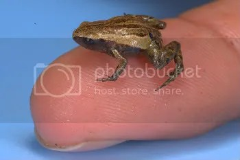 Male Noble's pygmy frog on index finger