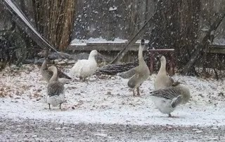 Good geese, pretty snow