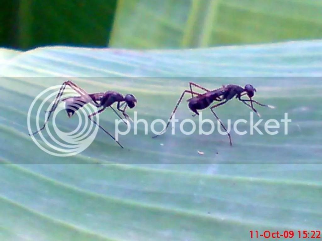 serangga kawin dan kawin 25