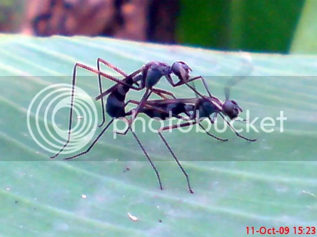 serangga kawin dan kawin 23