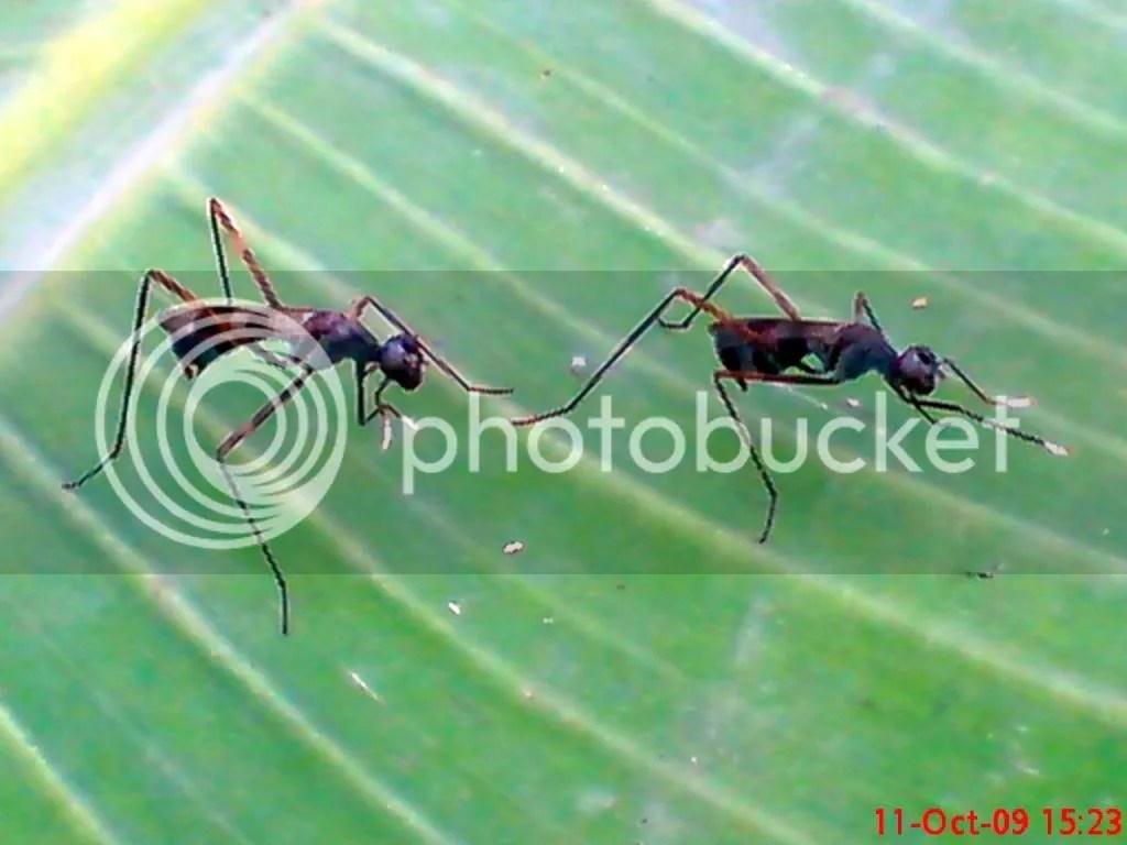 serangga kawin dan kawin 22