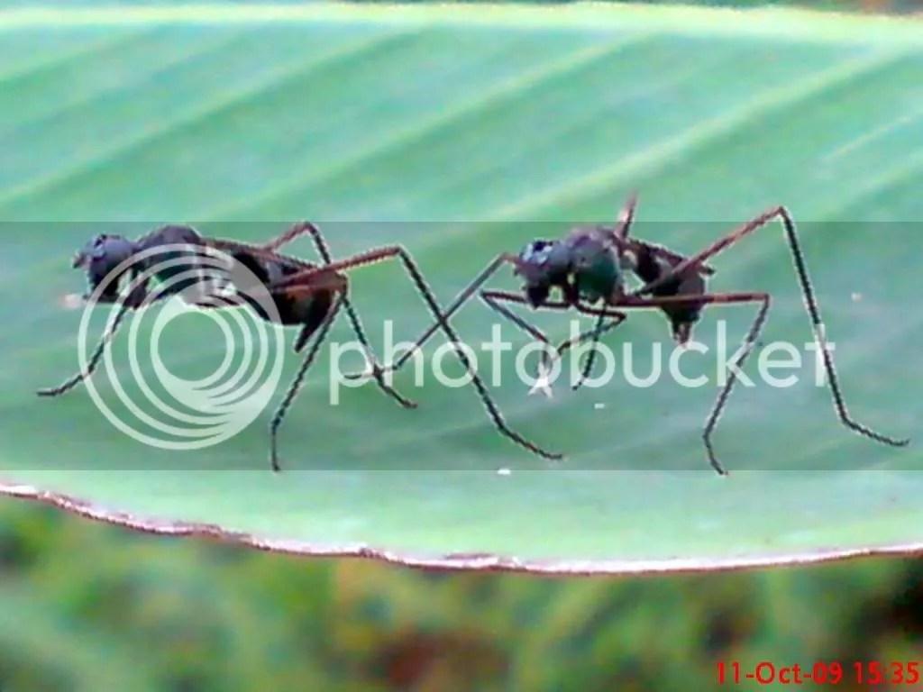 serangga kawin dan kawin 13