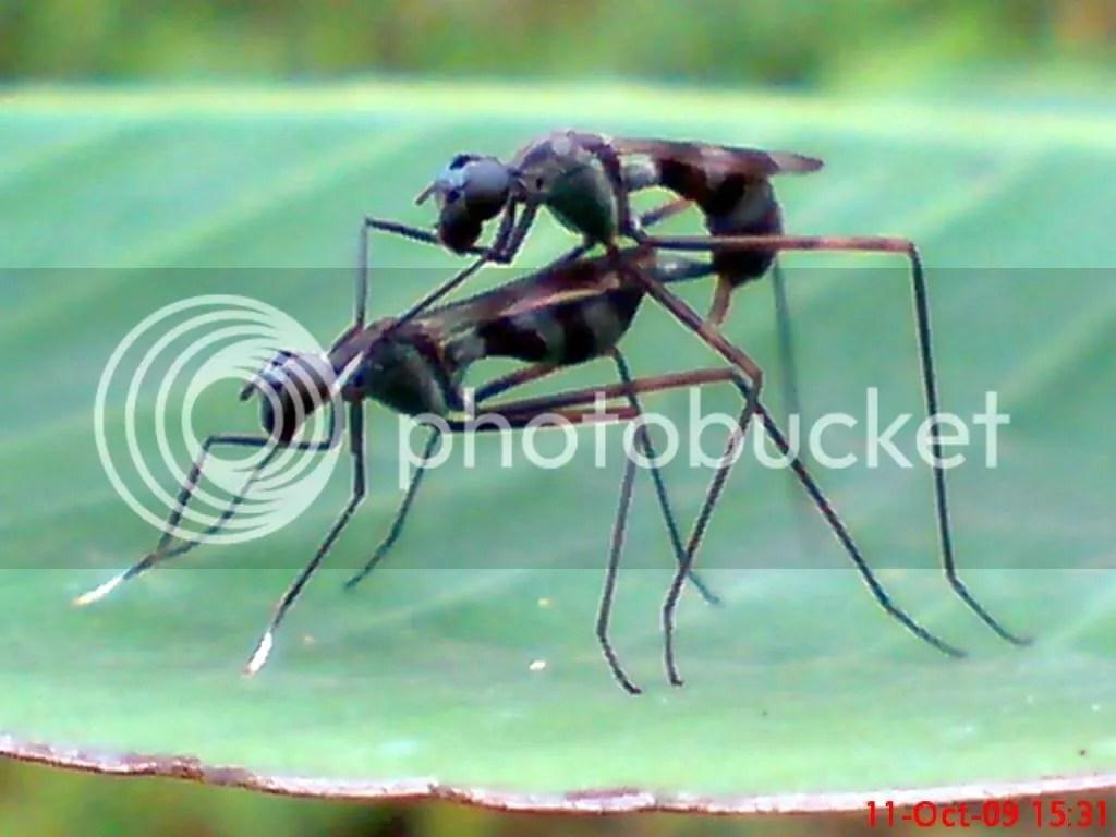 serangga kawin dan kawin 12