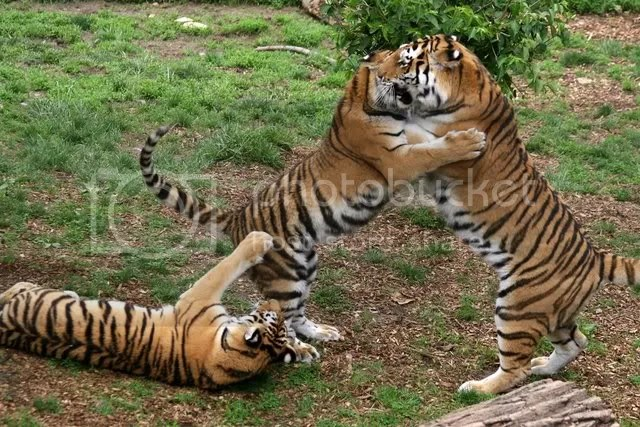 280209 3 amur tiger cubs st l zoo