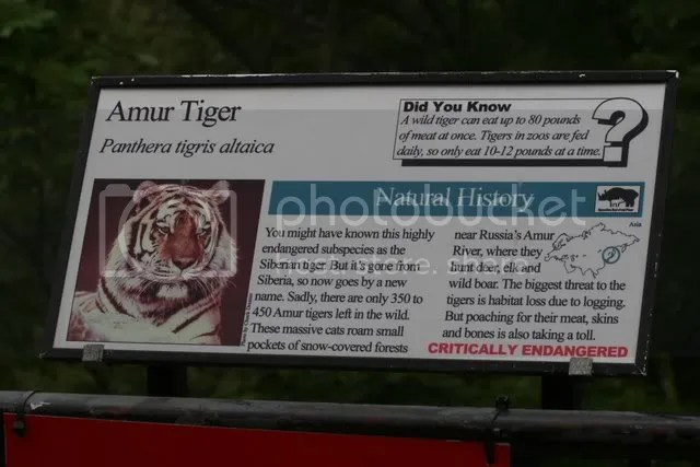 amur tiger sign 280209 zoo