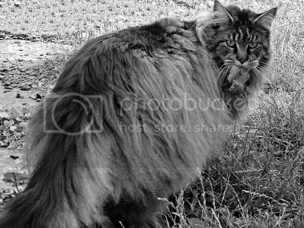 Maine Coon the Hunter by Maunz