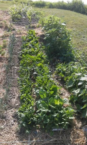 rows of spinach, swiss chard and sunflowers in a garden plot