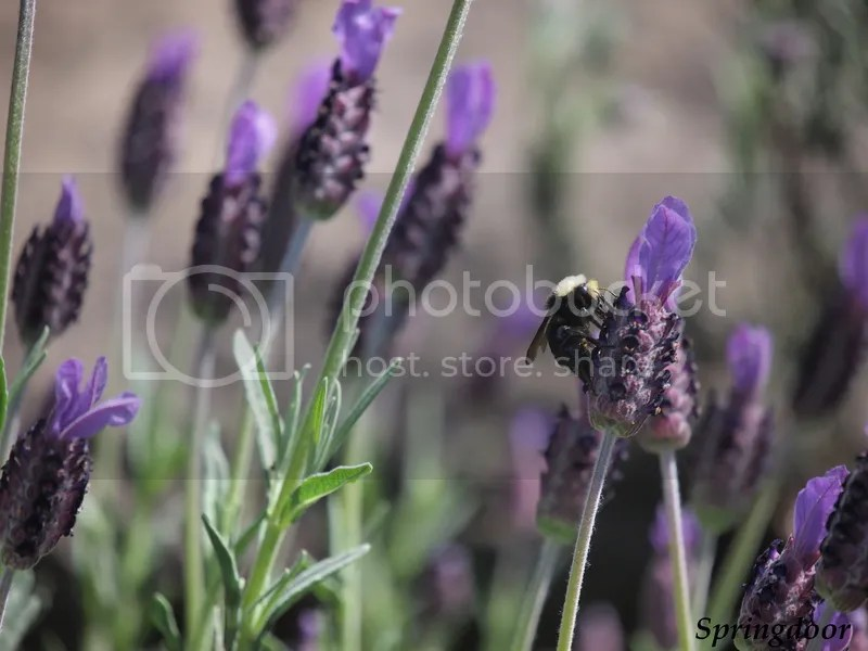 photo bee and lavender_zpsujolgd4a.jpg