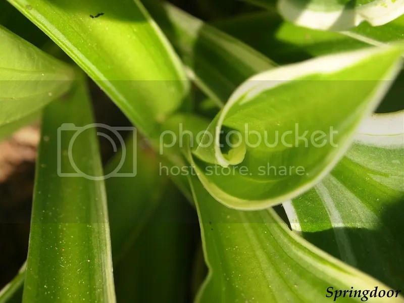 photo hosta_zpsjnsmbipu.jpg