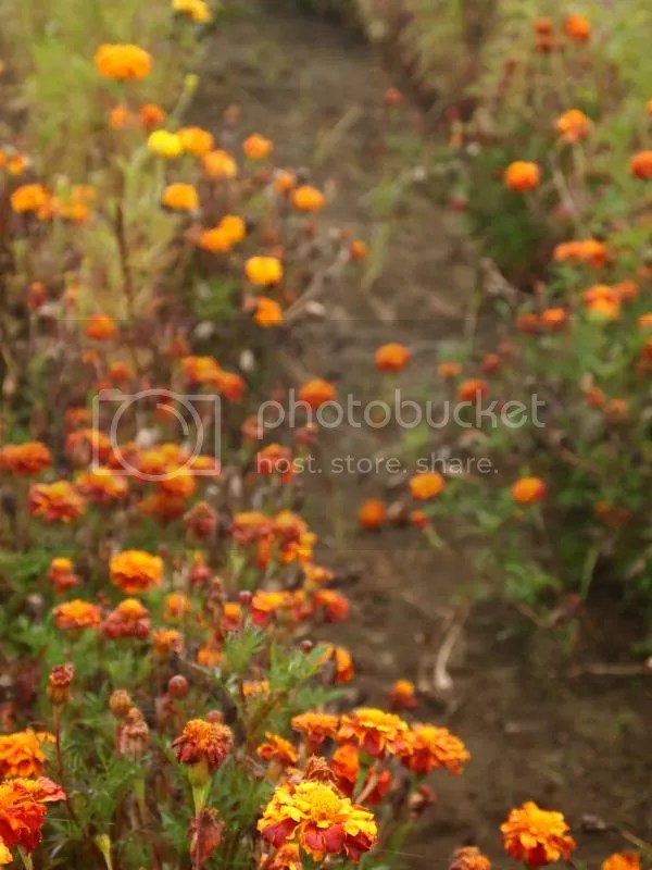 photo marigolds_fall2013_zps0532ae29.jpg