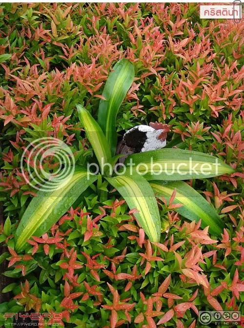 คริสติน่า, คริสติน่าพันธุ์ใหม่, คริสติน่าแคระ, Syzygium campanulatum, ไม้ใบ, ต้นแดง, ชมพู่, ไม้ดอกหอม, ไม้ทำรั้ว, ต้นไม้, ดอกไม้
