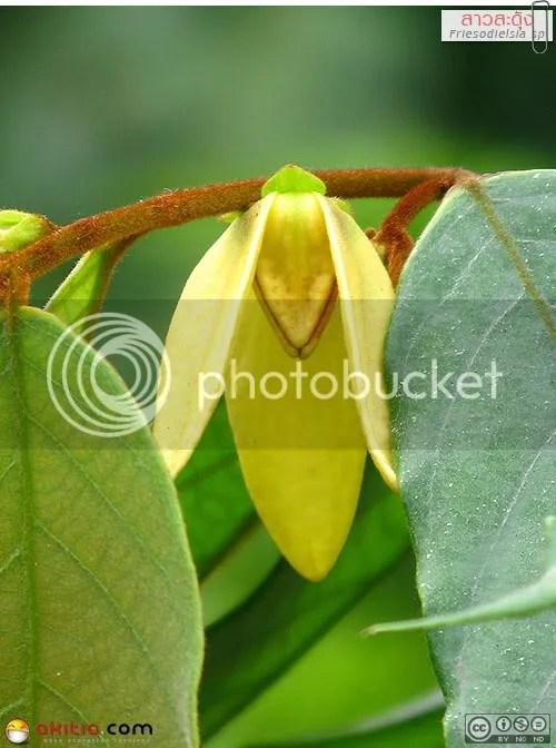 สาวสะดุ้ง, สาวสดุ้ง, วงศ์กระดังงา, Friesodielsia, ไม้ดอกหอม, ออกดอกทั้งปี, กลิ่นหอมแรง, ต้นไม้, ดอกไม้, aKitia.Com