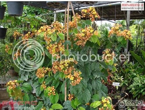 ตลาดไม้ดอกไม้ประดับสหกรณ์นนทบุรี, สะพานพระราม 5, สะพานพระรามห้า, นนทบุรี, ตลาดต้นไม้, ร้านขายต้นไม้, ซื้อต้นไม้, ต้นไม้, ดอกไม้, akitia.com