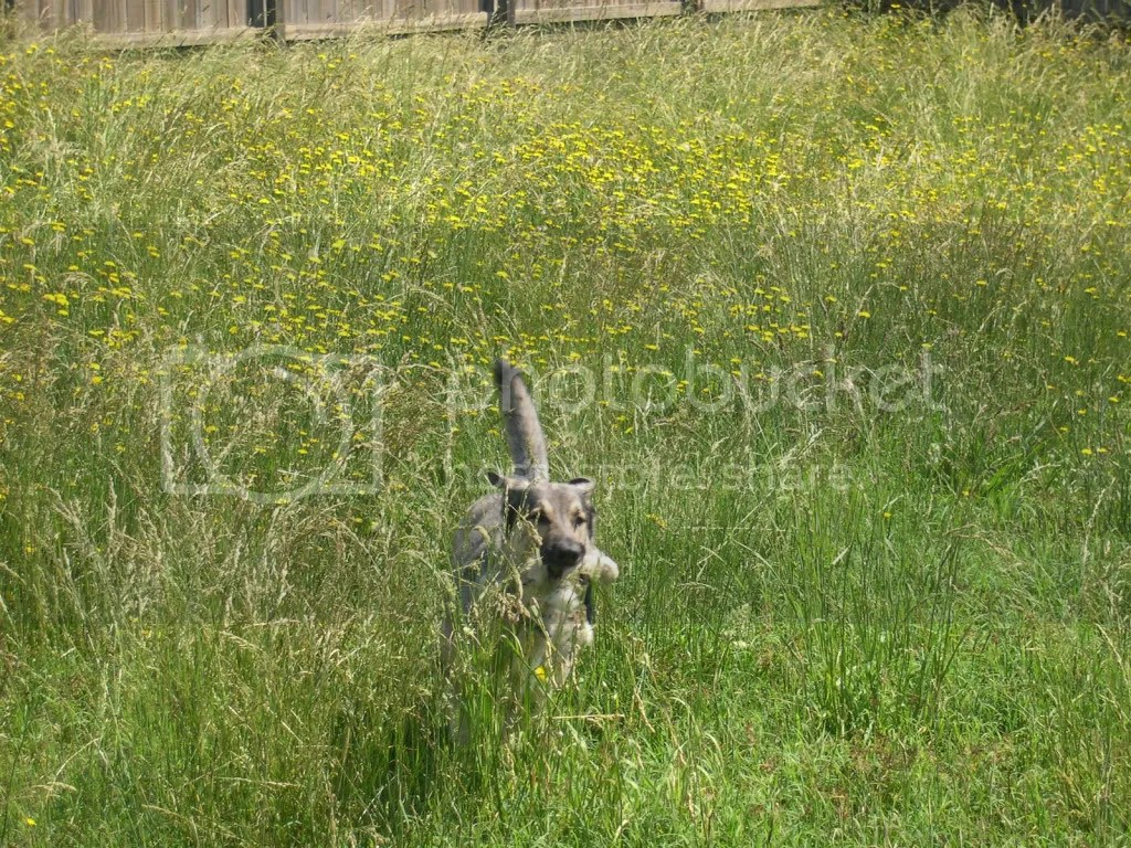 Deezle emerges from the meadow with a shredded stuffed animal.  And probably a couple dozen ticks.