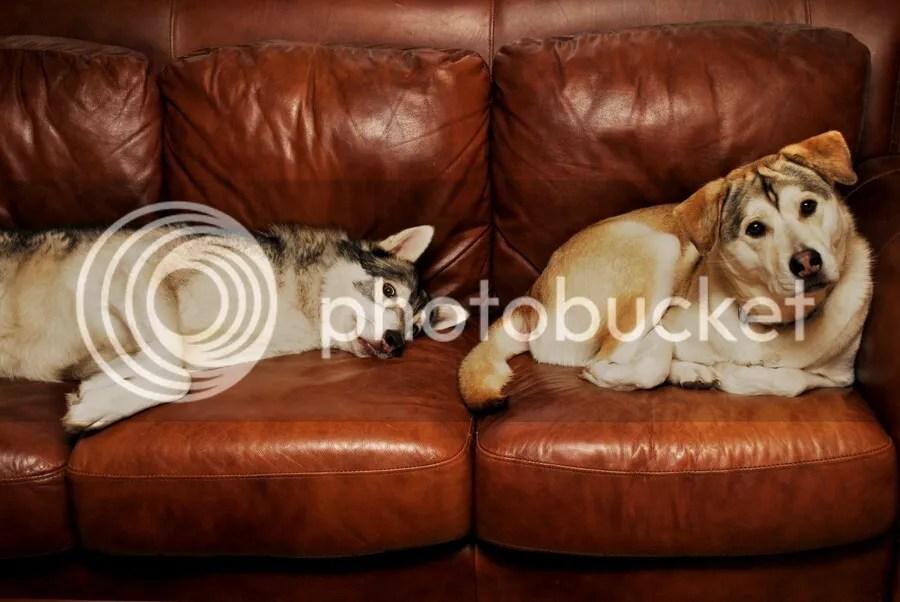 adopted malamutes enjoying the sofa