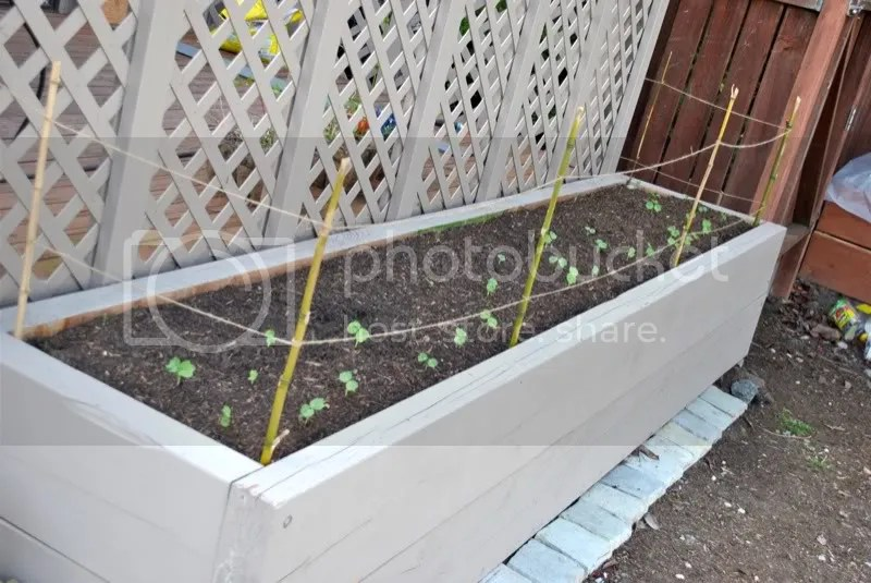 Hops and nasturtium raised bed