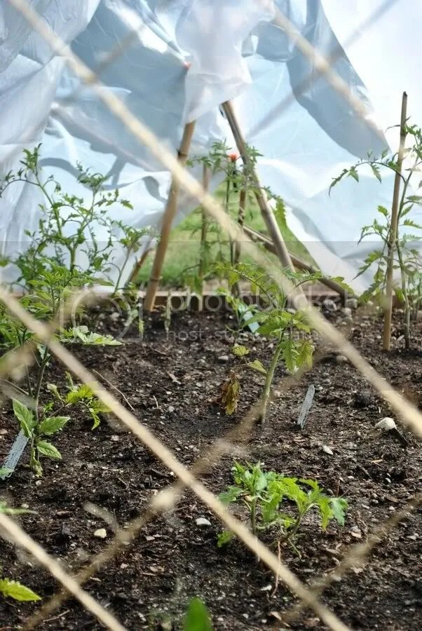 tomatoes growing in hoophouse