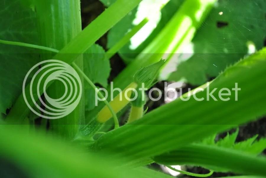 baby zucchini growing
