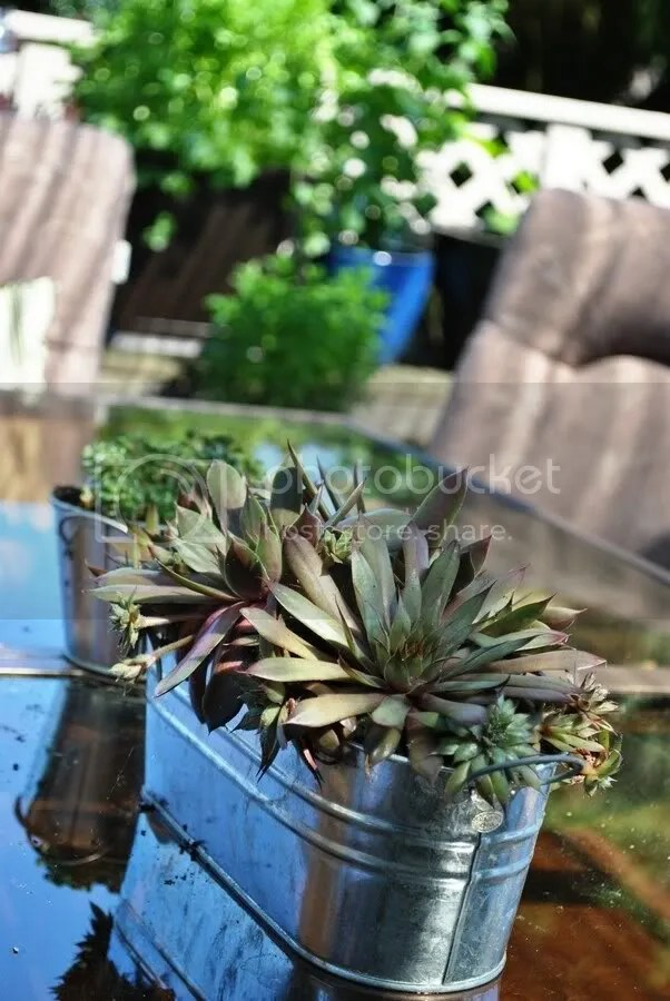 succulents in galvanized planter