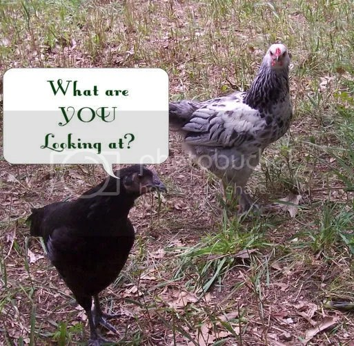 Chickens with an attitude