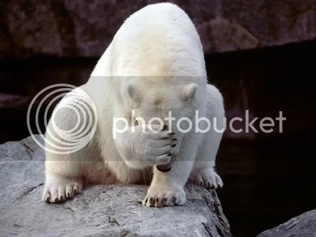 photo polar-bear-face-palm.jpg