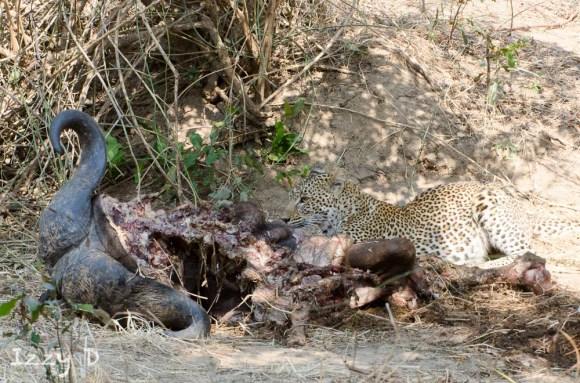 LeopardandlionsIzzy7.123703.jpg