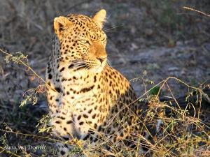 leopardanna1.183526.jpg