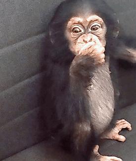 Qatar chimp