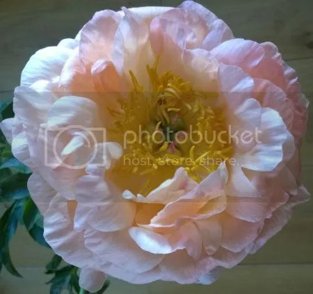photo WP_20160508_009Pioenroos03 01.jpg
