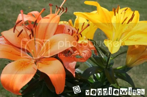 Hybrid Lillies