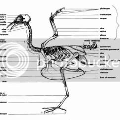 Ostrich Skeleton Diagram 12v Trolling Evc Forum Birds And Reptiles Bird