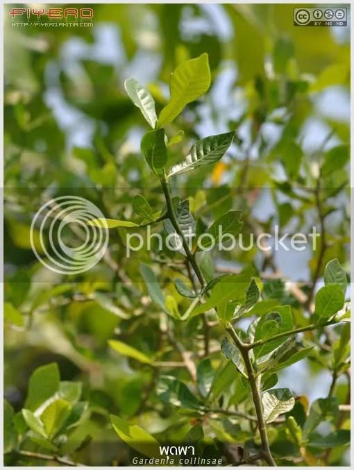 พุดผา, พุด, สีดาดง, ข่อยด่าน, ข่อยหิน, ข่อยโคก, ปัดหิน, Gardenia collinsae, Gardenia saxatilis, ไม้ดอกหอม, ดอกไม้สีขาว, ไม้ไทย, ไม้หายาก, ต้นไม้, ดอกไม้, aKitia.Com