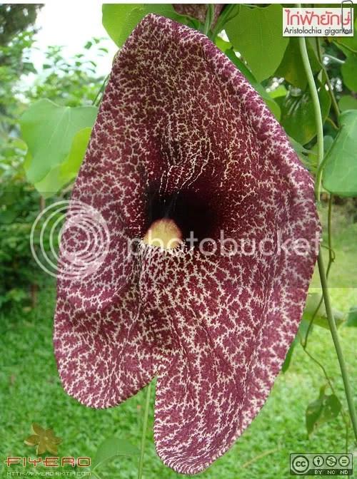 ไก่ฟ้ายักษ์, ไก่ฟ้าใหญ่, Aristolochia gigantea, ไม้เลื้อย, ไม้ดอกหอม, ไม้แปลก, ไม้หายาก, Dutchman's Pipe, Pelican Flower, Calico Flower