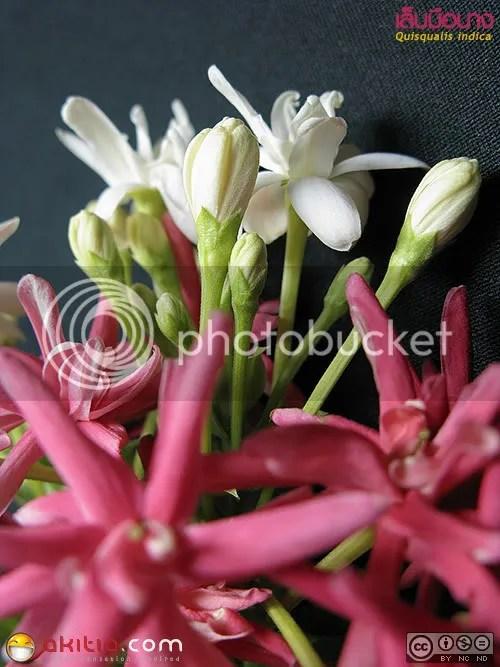 เล็บมือนาง, Quisqualis indica, Rangoon creeper, ไม้เลื้อย