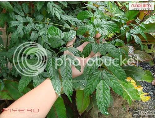 ฉัตรนาก, ฉัตรนาค, กะตังใบ, ไม้หายาก, ต้นไม้หายาก, ไม้แปลก, ใบสีม่วง, ต้นไม้, ดอกไม้, Leea guineensis Burgundy, Leea coccinea Rubra, Red Leea, Purple Leea, Red Hawaiian Holly, West Indian Holly, aKitia.Com
