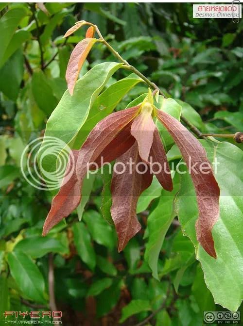สายหยุดแดง, สายหยุด, Desmos chinensis, สาวหยุด, วงศ์กระดังงา, กล้วยเครือ, เครือเขาแกลบ, เสลาเพชร, ไม้ดอกหอม, ออกดอกตลอดปี, ต้นไม้, ดอกไม้, akitia.com