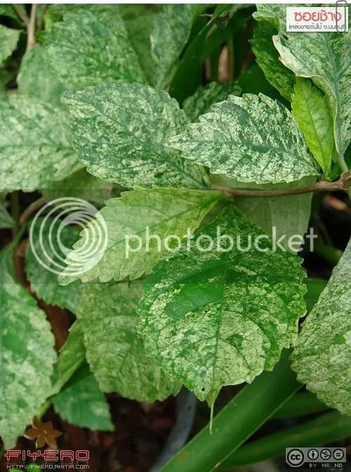 ซอยช้าง, Soi Chang, ตลาดต้นไม้, นนทบุรี, ต้นไม้, ดอกไม้, akitia.com