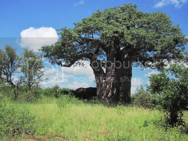 photo Baobab_tree_with_elephant_seeking_shade_2014_zps21f24471.jpg