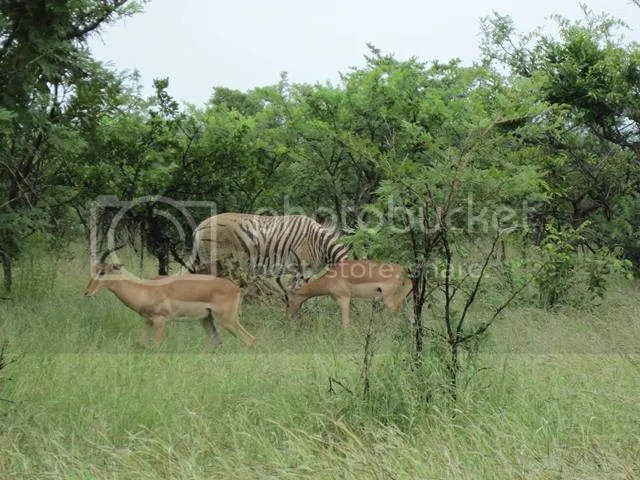 photo Burchells_zebra_near_Pretoriuskop_Mar2014_zps5d9f11dc.jpg