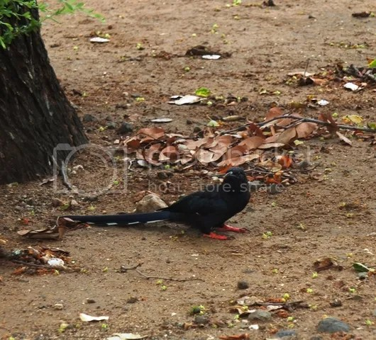 photo Immature_red_billed_wood_hoopoe_zps6b739425.jpg
