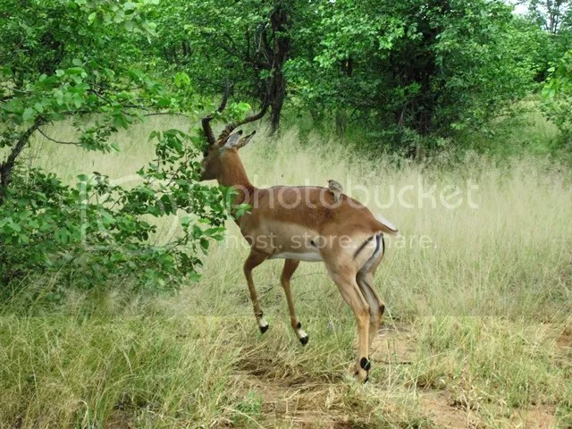 photo Impala_takes_flight_with_oxpecker_on_board_zps9b65c246.jpg