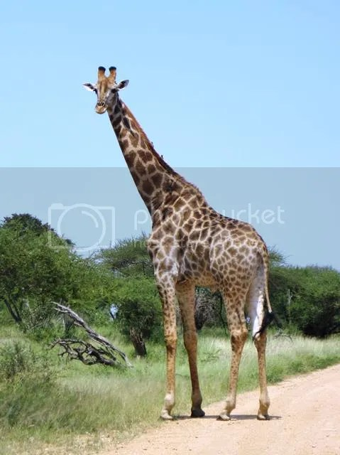 photo Part3_Giraffe_zps735b3d27.jpg