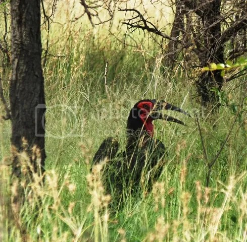 photo Part3_Southerngroundhornbill_zpsd732435e.jpg