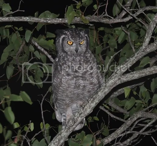 photo Part3_SpottedEagleowl_zps5672e08a.jpg