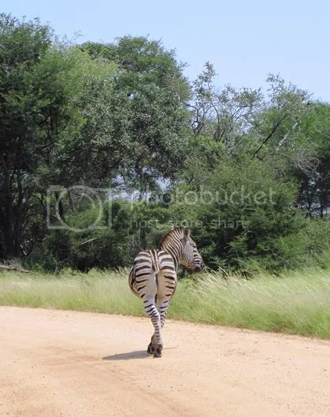 photo Part3_Zebra_missing_tail_zps0363c5ac.jpg