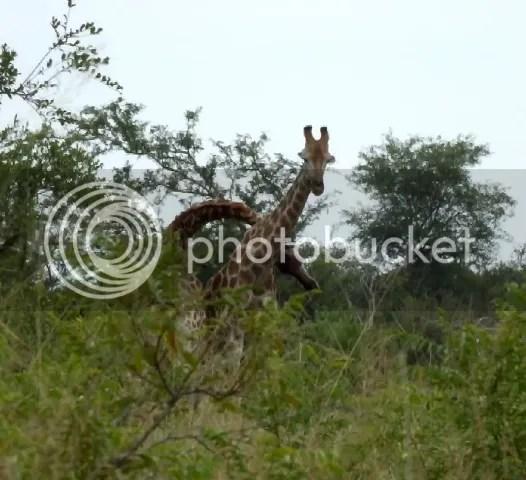 Giraffe fight photo Part4_Giraffe_fighting2_zps795421ae.jpg