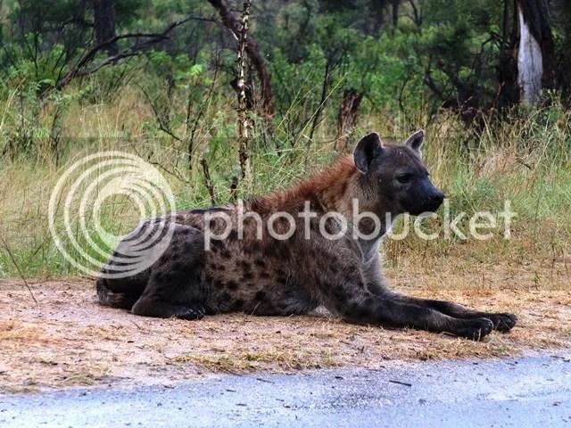 photo Part4_Hyena2_resting_zps5a2ae9e7.jpg