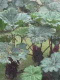 Umbrella plants - volcan poas 2