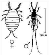 Cochinecal Böceği