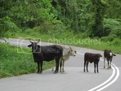 Rush hour in the boondocks. Not wise to press your horn at these guys. Their grandfather really owns the road.